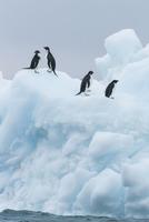 アデリーペンギン 01543049391| 写真素材・ストックフォト・画像・イラスト素材|アマナイメージズ