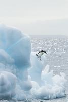 アデリーペンギン 01543049392| 写真素材・ストックフォト・画像・イラスト素材|アマナイメージズ