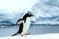 ジェンツーペンギン 01543049394| 写真素材・ストックフォト・画像・イラスト素材|アマナイメージズ
