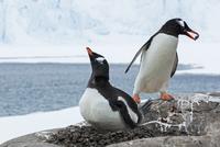 ジェンツーペンギン 01543049395| 写真素材・ストックフォト・画像・イラスト素材|アマナイメージズ