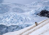 ジェンツーペンギン 01543049396| 写真素材・ストックフォト・画像・イラスト素材|アマナイメージズ
