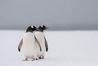 ジェンツーペンギン 01543049407| 写真素材・ストックフォト・画像・イラスト素材|アマナイメージズ