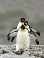 オウサマペンギン 01543049424| 写真素材・ストックフォト・画像・イラスト素材|アマナイメージズ