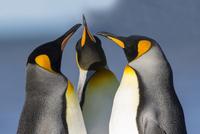 オウサマペンギン 01543049426| 写真素材・ストックフォト・画像・イラスト素材|アマナイメージズ