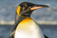 オウサマペンギン 01543049427| 写真素材・ストックフォト・画像・イラスト素材|アマナイメージズ