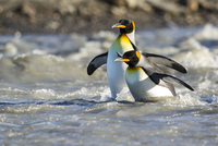 オウサマペンギン 01543049428| 写真素材・ストックフォト・画像・イラスト素材|アマナイメージズ