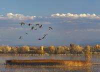 ハクガンの池の上を飛ぶカナダヅル 01543049491| 写真素材・ストックフォト・画像・イラスト素材|アマナイメージズ