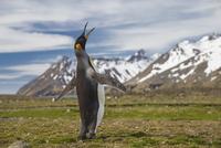 オウサマペンギン 01543049497| 写真素材・ストックフォト・画像・イラスト素材|アマナイメージズ