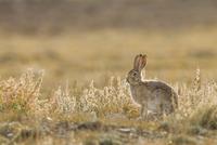 トルアイノウサギ 01543049682| 写真素材・ストックフォト・画像・イラスト素材|アマナイメージズ