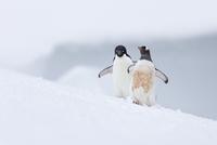 ジェンツーペンギン 01543049709| 写真素材・ストックフォト・画像・イラスト素材|アマナイメージズ