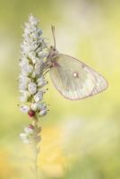 モンキチョウのなかま 01543049744| 写真素材・ストックフォト・画像・イラスト素材|アマナイメージズ