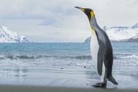オウサマペンギン 01543049749| 写真素材・ストックフォト・画像・イラスト素材|アマナイメージズ