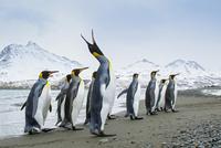 オウサマペンギン 01543049750| 写真素材・ストックフォト・画像・イラスト素材|アマナイメージズ