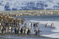 オウサマペンギン 01543049751| 写真素材・ストックフォト・画像・イラスト素材|アマナイメージズ
