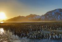 オウサマペンギン 01543049754| 写真素材・ストックフォト・画像・イラスト素材|アマナイメージズ