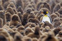 オウサマペンギン 01543049755| 写真素材・ストックフォト・画像・イラスト素材|アマナイメージズ