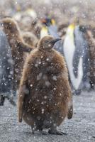 オウサマペンギン 01543049756| 写真素材・ストックフォト・画像・イラスト素材|アマナイメージズ