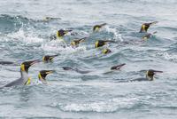 オウサマペンギン 01543049757| 写真素材・ストックフォト・画像・イラスト素材|アマナイメージズ