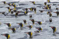 オウサマペンギン 01543049758| 写真素材・ストックフォト・画像・イラスト素材|アマナイメージズ