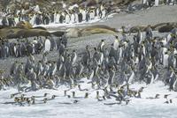 オウサマペンギン 01543049759| 写真素材・ストックフォト・画像・イラスト素材|アマナイメージズ