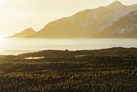 オウサマペンギン 01543049760| 写真素材・ストックフォト・画像・イラスト素材|アマナイメージズ