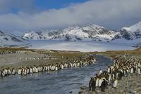 オウサマペンギン 01543049761| 写真素材・ストックフォト・画像・イラスト素材|アマナイメージズ