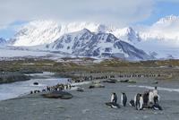 オウサマペンギン 01543049762| 写真素材・ストックフォト・画像・イラスト素材|アマナイメージズ