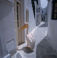 町中のペリカン ミコノス島 ギリシャ