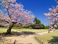桜咲く後楽園