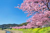 菜の花とみなみの桜 01597014863| 写真素材・ストックフォト・画像・イラスト素材|アマナイメージズ