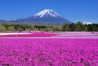 芝桜と富士山 富士芝桜まつり