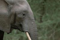 アフリカゾウの横顔