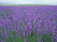 ラベンダーの花畑(紫) 富良野市 北海道