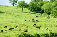 草原での牛の放牧