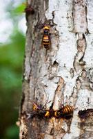 クヌギの樹液を吸うオオスズメバチ 01636092291| 写真素材・ストックフォト・画像・イラスト素材|アマナイメージズ