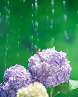 アジサイとカエルと雨(紫)