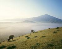 山の斜面に放牧された牛 8月 熊本県