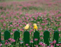 花畑の柵にとまる2羽のインコ