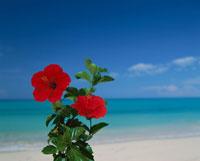 海とハイビスカス  宮古島 沖縄