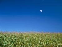 トウモロコシ畑と月 北見 北海道