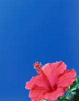 青空とハイビスカス 01651020959| 写真素材・ストックフォト・画像・イラスト素材|アマナイメージズ