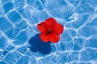 プールに浮かぶハイビスカス