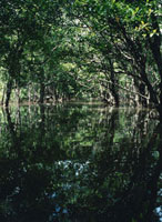 水面に映るマングローブ