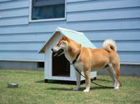 犬小屋の前の柴犬