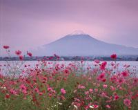 コスモス咲く河口湖と富士山の夕景 山梨県