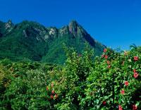 ハイビスカスとモッチョム岳 屋久島 01701090844| 写真素材・ストックフォト・画像・イラスト素材|アマナイメージズ