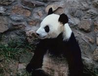 パンダ 北京 中国