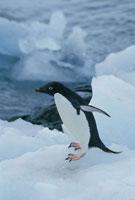 氷上でジャンプするアデリーペンギン 南極
