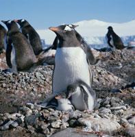 寄り添うゼンツーペンギンの親子 南極