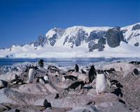 ゼンツーペンギンの群れ 南極